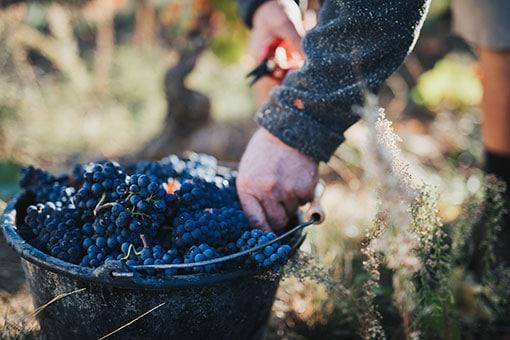 Château de Garnerot - Harvest 2019 - Pinot noir