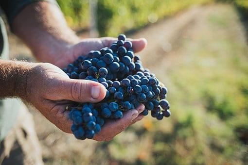 Château de Garnerot - Pinot noir - harvest 2019